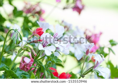 Azalea flowers - stock photo
