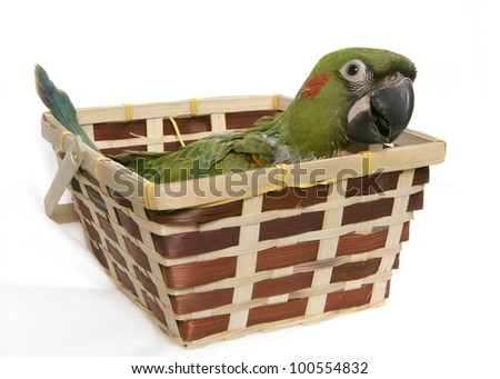 Baby Parrot in a Basket