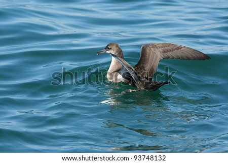 Balearic shearwater at sea off the Needles in the Isle of Wight