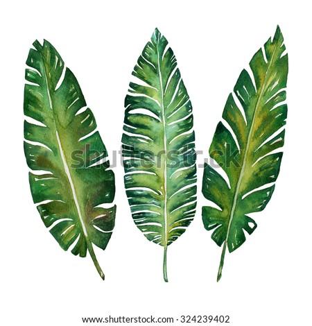 Banana leaves watercolor  plant botanic painting on white background, vector illustration - stock photo