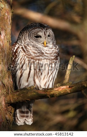Barred Owl in Morning Light