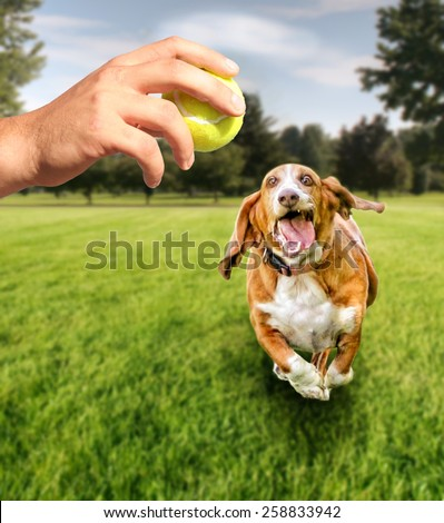 basset hound running to try and catch a tennis ball in mid-air (focus on the ball) VERY shallow depth of field  - stock photo