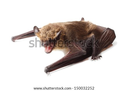 Bat isolated on white - stock photo