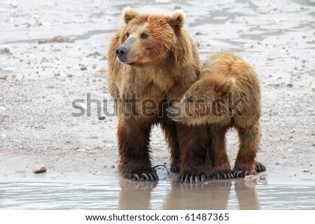 bears - stock photo