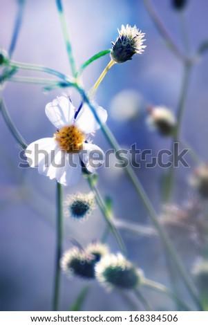 beautiful fresh daisy in warm  sun light. - stock photo