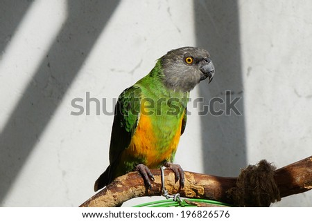 beautiful green and yellow senegal  parrot closeup                 - stock photo