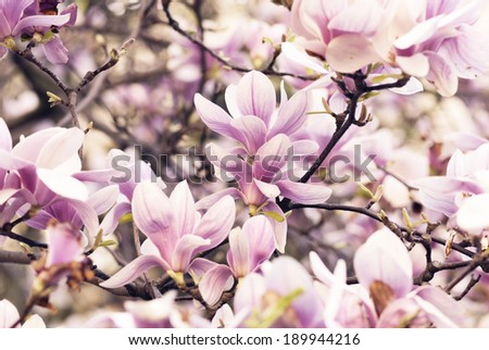 Beautiful magnolia flower in garden - stock photo