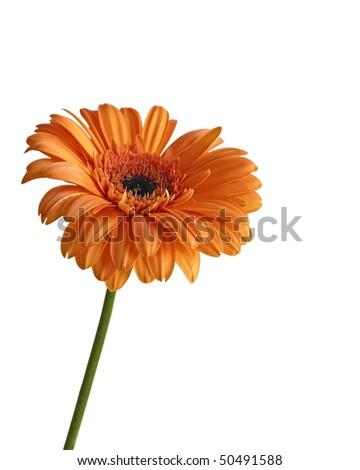 Beautiful orange color gerbera isolated on white background - stock photo