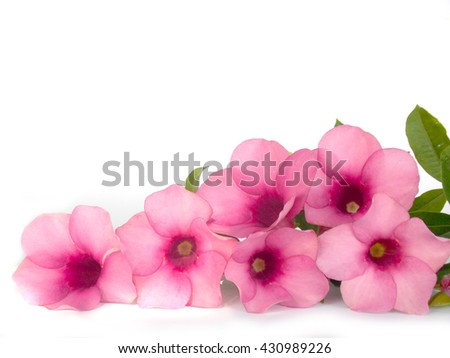 Beautiful pink flower blooming on white,nature background