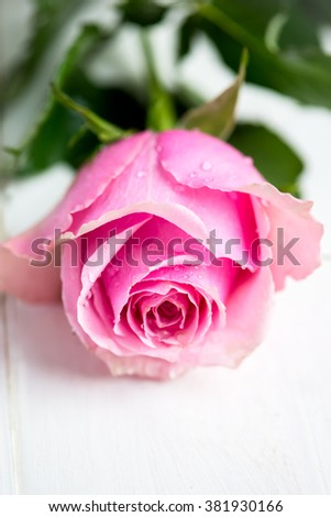 Beautiful Pink Rose on White Background, shallow DOF, selective focus - stock photo