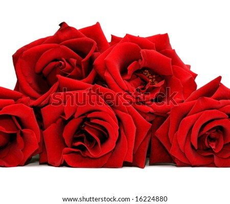 Beautiful red rose isolated on a white background - stock photo