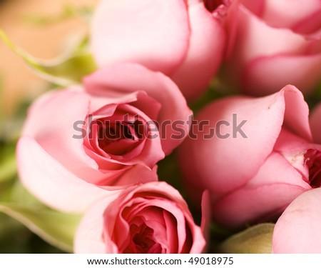 Beautiful Roses Background - stock photo