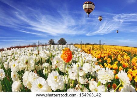 Beautiful spring weather, beautiful big balloon flies over the field. The huge field of white and orange buttercups (Ranunculus asiaticus). The picture was taken Fisheye lens - stock photo
