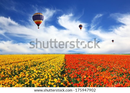 Beautiful spring weather, three balloons flying over the field. The huge field of white, red and yellow buttercups (Ranunculus asiaticus). The picture was taken Fisheye lens - stock photo