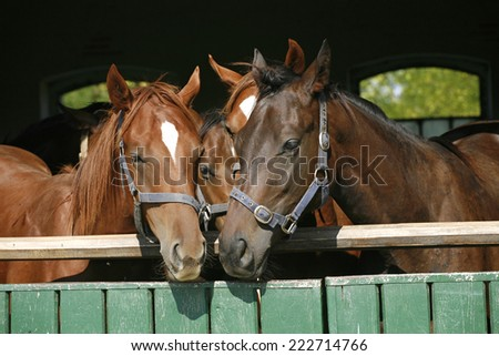 Beautiful thoroughbred horses at the barn door. Nice thoroughbred foals in the stable door  - stock photo