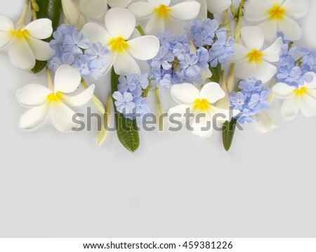 Beautiful tropical frangipani and blue flower on white background ,plumeria  blooming