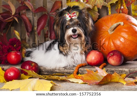 beaver yorkshire terrier and autumn leaves - stock photo