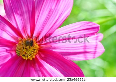 bee on pink flower pollen - stock photo