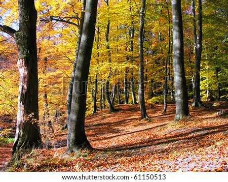 Beech forest in autumn - stock photo