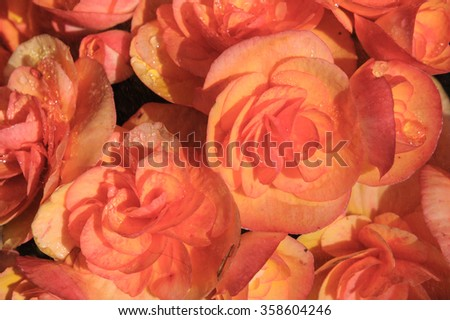 begonia, winter, red, park, petal, orange, gardening, flora, texture, garden, colorful, background, in, flower, leaf, botanical, pink, up, close, plant, beauty, beautiful, nature