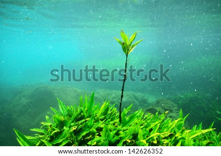 below the water of a mangrove tree with roots in Thapom lagoon, Phang Nga, Thailand. - stock photo