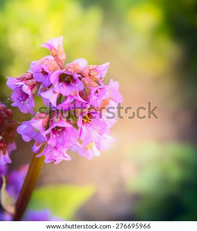 Bergenia flower on blurred garden background, close up - stock photo