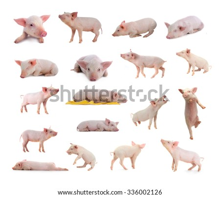 18 BEST pigs in the most unusual poses on a white background. studio - stock photo