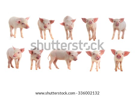10 BEST pigs on a white background - stock photo