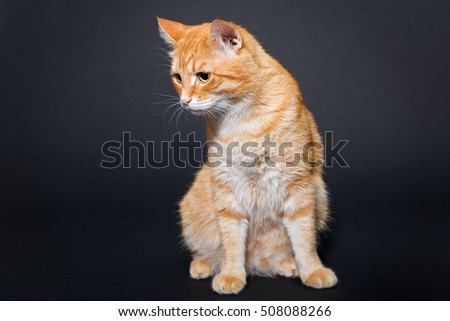 Big, beautiful red cat, on a black background