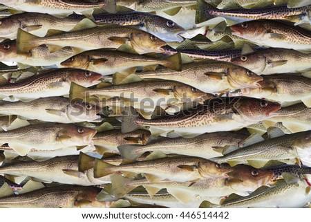 big cod fishes background - stock photo