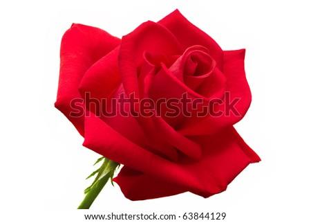 Big rose on white background - stock photo