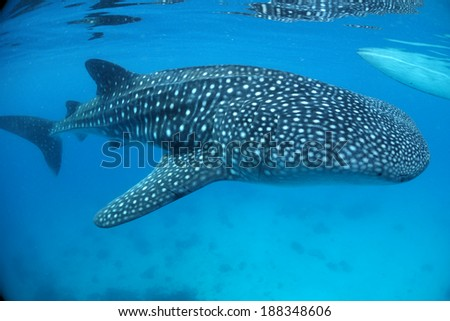 Big Whale Shark Swim Over