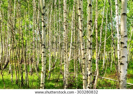 birch forest - stock photo