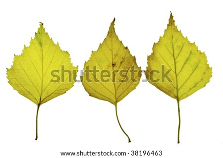 3 birch leaves isolated on a white background photographed on a light-box