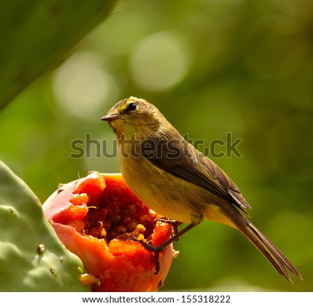Bird phylloscopus canariensis on a cactus fruit carefully looking the surroundings and waiting to eat the exquisite fresh pulp of a delicious ripe prickly pear, on unfocused natural green background  - stock photo