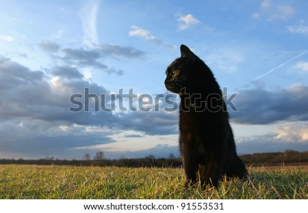 Black cat at sunset. Black domestic cat is sitting down on meadow at sunset - stock photo
