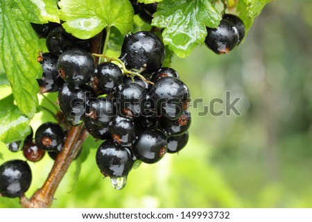 black currant branch with water drops after rain - stock photo
