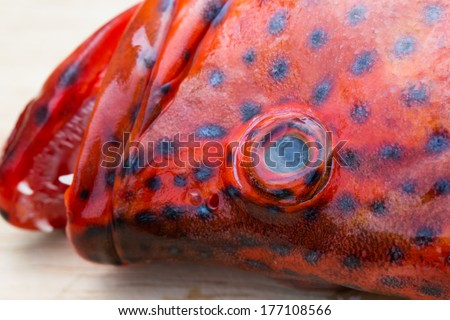 Blacktip grouper or Red-banded grouper - stock photo