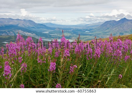 blooming fireweed - stock photo