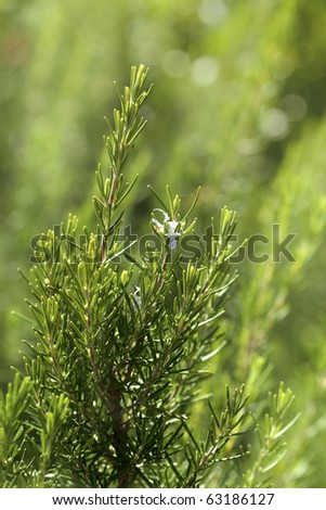 blooming rosemary aromatic  culinary herb in nature - stock photo