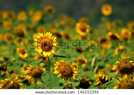 Blooming sunflowers in the large field