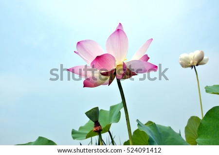 Blossom pink lotus flower in sunset