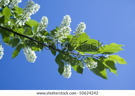 Blossoming branch bird cherry  (Prunus padus) on the blue sky copy space background  - stock photo