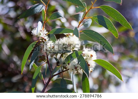 blossoming soap mallee  (Eucalyptus diversifolia) plant  in spring - stock photo