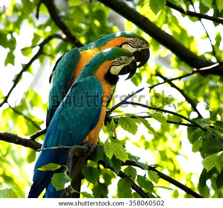Blue-and-yellow Macaw - Ara ararauna - stock photo