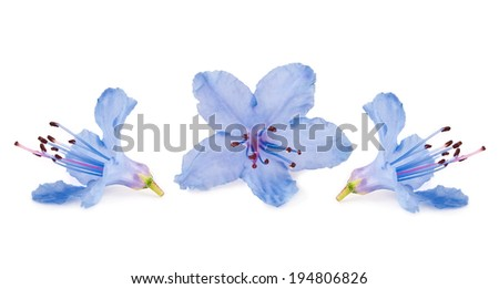Blue blossoms of Rhododendron (Azalea) close-up isolated on a white background  - stock photo