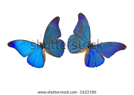 2 blue butterflies isolated on white background - stock photo