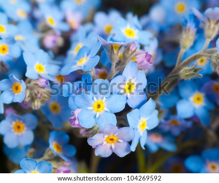 blue forget-me-not flowers - stock photo