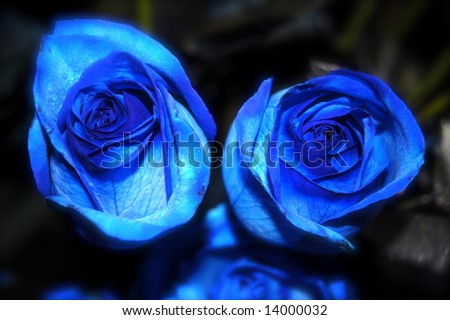 2 Blue Roses - stock photo