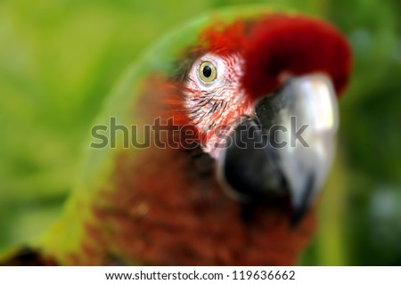 (BLUR) The Great Green Macaw also known as Buffon's Macaw or the Great Military Macaw, is a Central and South American parrot found in Nicaragua, Honduras, Brazil, Costa Rica, Colombia and Ecuador. - stock photo